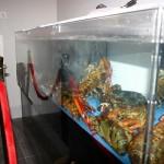lobster-tank2